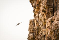 Vulture Soaring - stock photo