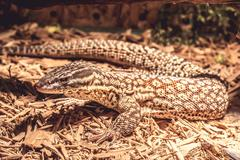 Lizard in the terrarium - leopard gecko - stock photo