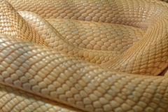 Snake in the terrarium - Albino indian cobra - stock photo