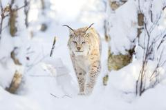 Lynx cat walks in the cold winter forest Stock Photos