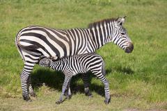 Mother nursing foal zebra, Equus quagga. - stock photo
