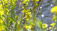 Blooming Rape Blossoms and water reflections in sunshine. Stock Footage