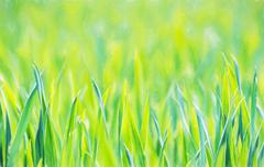 Green corn field in spring. Seasonal agricultural theme. Beauty in nature. Il - stock photo