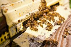 Plenty of bees at the entrance of beehive in apiary. - stock photo