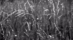 Stalks with ears in 4K. Stock Footage