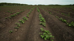 Shoots of potato in the field Stock Footage