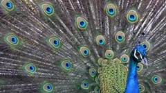 A beautiful peacock spreads its feathers to woo females Stock Footage