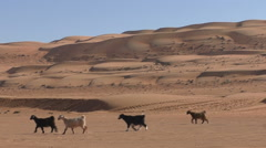 Herd of goats walking in the desert of Oman - stock footage
