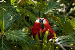 Two scarlet macaws in tree Stock Photos
