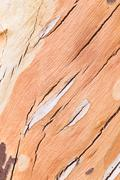The surface of the eucalyptus trees. Stock Photos