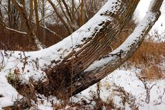 The tree trunk which is slightly covered with snow Stock Photos