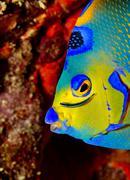 Neon goby cleans Queen angelfish Stock Photos