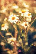 Stock Photo of Beautiful daisy flowers in meadow by sunset, illustration with colored pencil