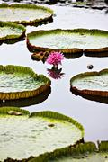 Floating lotus leaves and flower on Mekong River at Can Tho, Vietnam Stock Photos