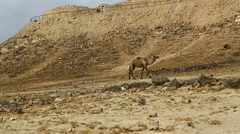 Camel in the rock desert Stock Footage