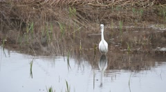 Little Egret (  Egretta garzetta ) Fishing in a Lake Stock Footage