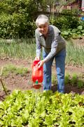 An elderly woman pours a watering-can a bed with sheet lettuce - stock photo