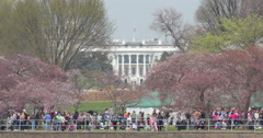 White House in Washington D.C. and cherry blossom in spring - stock footage