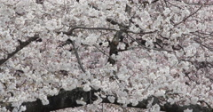 Cherry blossom flowers and tree branch Stock Footage