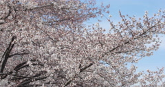 Cherry blossom flowers on tree branch in spring Stock Footage