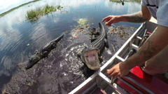 Airboat guide in Everglades swamp feeding huge alligator - stock footage
