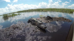 Big alligators swimming around the boat in Everglades swamp preserve - stock footage