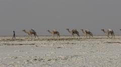 Camels caravan carrying salt in Africa's Danakil Desert, Ethiopia Stock Footage