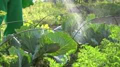 Farmer sprays green cabbage in own small garden Stock Footage