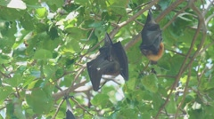 Flying fox hangs on a tree branch and washes Stock Footage