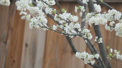 Blossoming plum tree against fence - stock footage