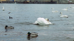 A male swan tries to show his dominance while swimming in the Vlatava river Stock Footage