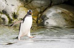 Gentoo Penguin runs over water Stock Photos