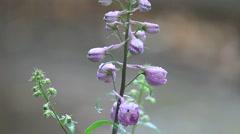 Lavender-colored delphinium flowers in rain Stock Footage