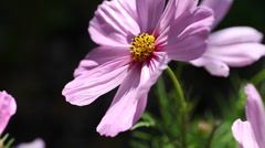 Cosmos flower with copy space Stock Footage