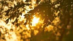 The leaves on a branch on a background of sunset. Real time capture - stock footage