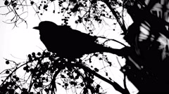 Crow Sitting On Berry Tree Silhouette Isolated on White, 4K Stock Footage