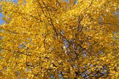 Yellow aspen foliage at autumn - stock photo