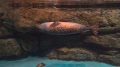 4k, gray seal swim underwater in the asian aquarium of Taiwan-Dan Stock Footage