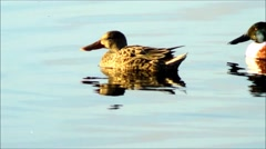 Group of Northern Shovelers Stock Footage