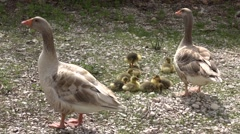 Goose family and father banishing cameraman Stock Footage