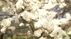 Beautiful apple tree branch Stock Footage