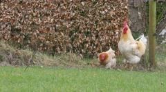 Cocks walking around in a garden, 4K Ultra HD Stock Footage