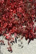 Red autumnal creeper grape foliage on gray roughcast background . Stock Photos