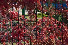 Background of red autumnal creeper grape lush foliage on fence. Stock Photos