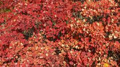 Lush red foliage of autumnal bush as natural background. - stock photo
