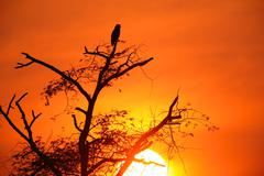 Brown Snake Eagle (Circaetus cinerus) perched on tree at sunset Stock Photos