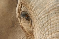 Close up of African elephant (Loxodonta africana) Kuvituskuvat