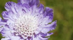 Alpine meadow flower Stock Footage