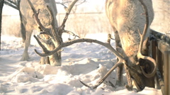 Deer fighting for food at winter slowmotion - stock footage