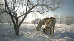 Deer eating grain in winter park slowmotion Stock Footage